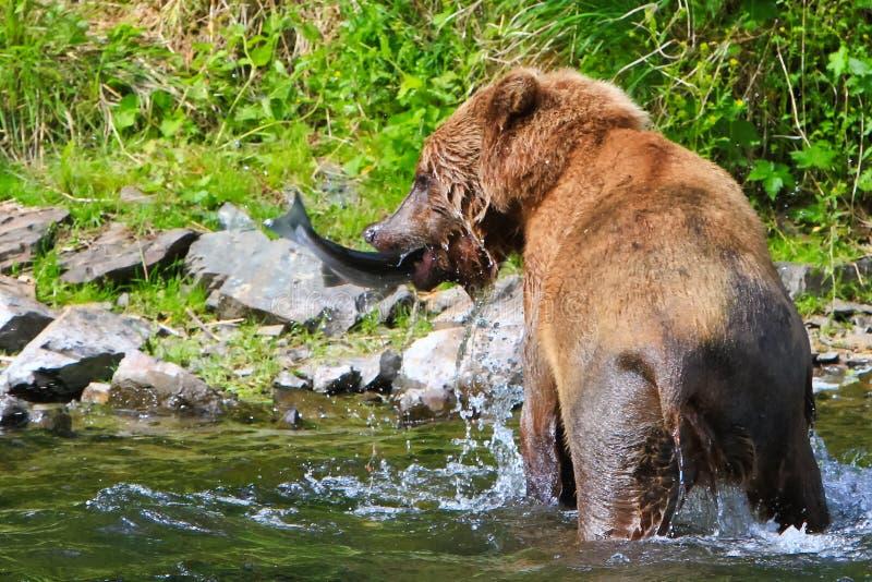 Vissen van de Vangsten van de Grizzly van Alaska de Bruine stock afbeelding