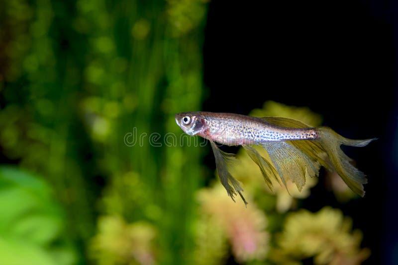 Vissen van het rerio zoetwateraquarium van Zebrafish de Gestreepte Barb Danio stock afbeeldingen