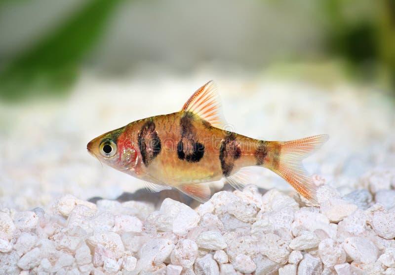 Vissen van het rhomboocellatus de zoetwater tropische aquarium van Rhombobarb puntius stock foto