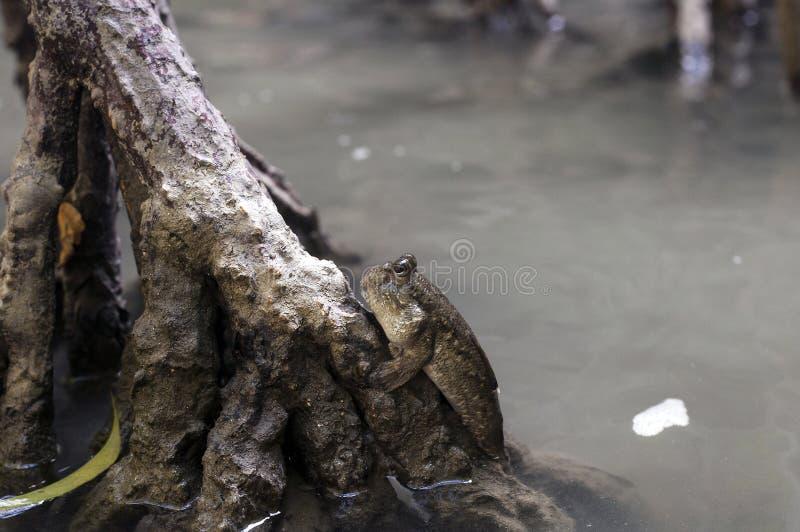 Vissen van Mudskipper de amfibische lungfish royalty-vrije stock afbeelding