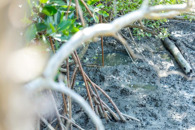 Vissen van Mudskipper de amfibische lungfish in mangrovebos royalty-vrije stock afbeelding
