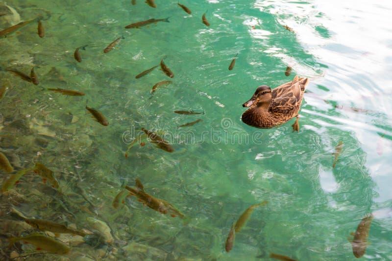 Vissen in wateren van Plitvice-Meren Nationaal Park royalty-vrije stock afbeeldingen