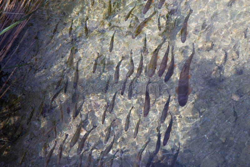 Vissen in wateren van Plitvice-Meren Nationaal Park stock foto