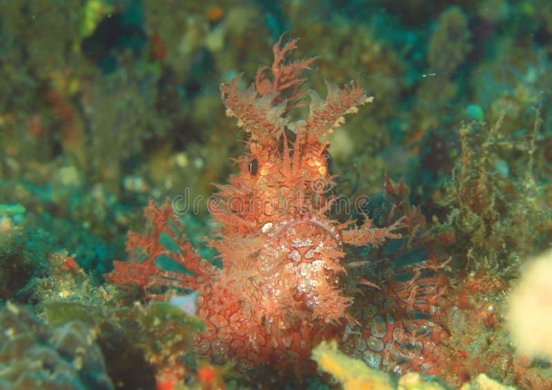 Vissen - weedy scorpionfish royalty-vrije stock foto's