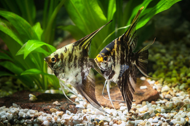 Vissen Zeeëngel in aquarium met groene installaties, en stenen royalty-vrije stock foto's