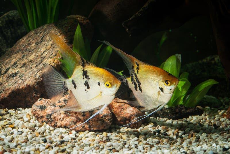 Vissen Zeeëngel in aquarium met groene installaties, en stenen stock afbeelding