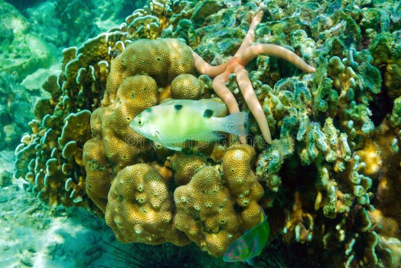 Vissen, zeester, zeeëgels en koralen op Banaanstrand, Coral Koh He-eiland, Thailand royalty-vrije stock fotografie