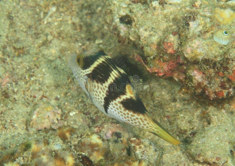 Vissen - zwart-Gezadelde Toby stock afbeelding