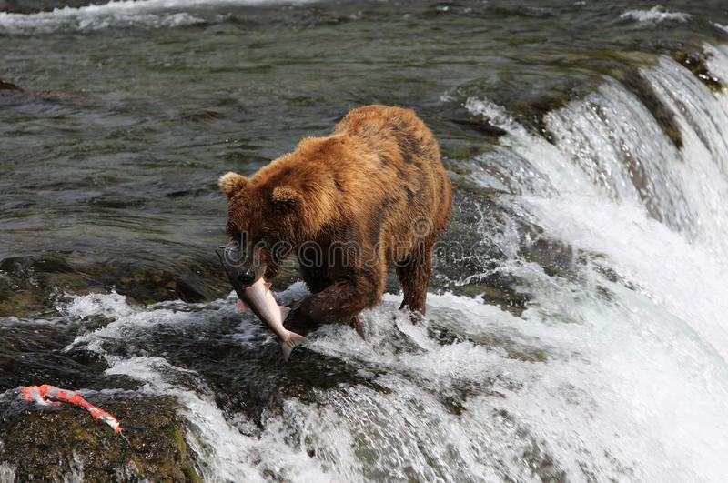 Vissende Grizzly royalty-vrije stock foto
