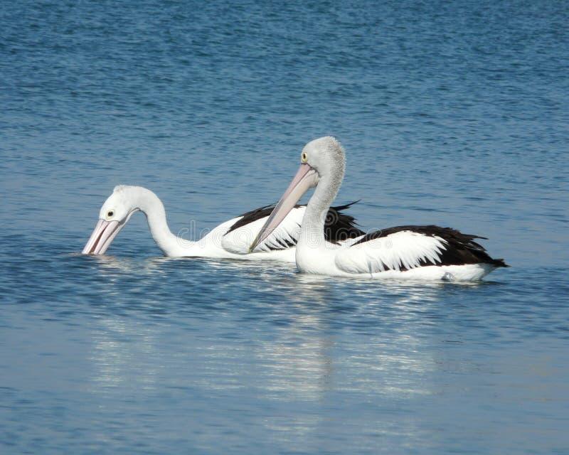 Vissende pelikanen stock afbeeldingen