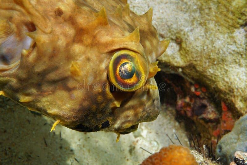 Vissenhoofd en oog beteugelde burrfish Chilomycterus royalty-vrije stock fotografie