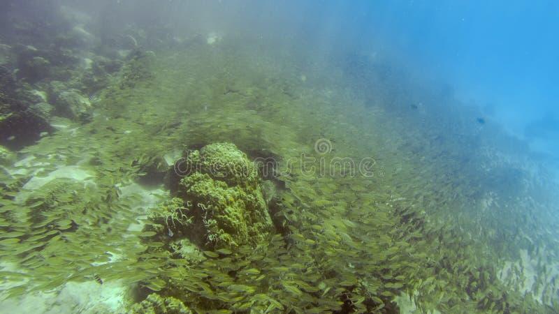 Vissenzwerm bij de grond van tropisch oceaanwater stock foto's