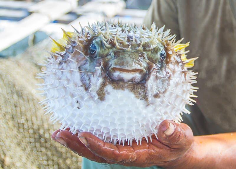 Visser die natte levende kogelvisvissen in hand houden royalty-vrije stock afbeelding