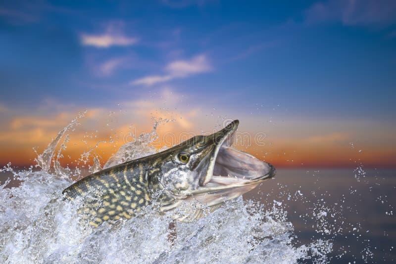 Visserij Grote snoekenvissen die met het bespatten in water springen stock foto
