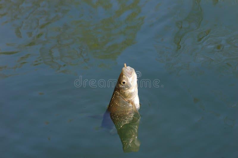Visserij voor kopvoorn stock foto's