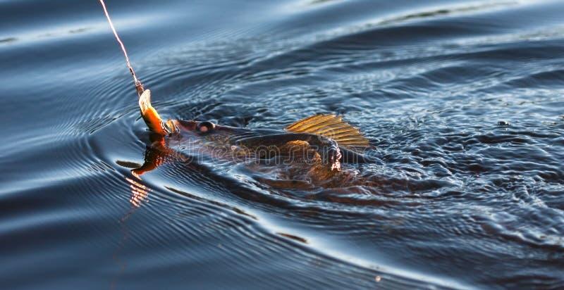 Visserij voor Pickerel stock foto