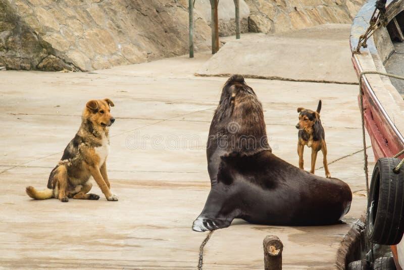 Vissershaven en zeeleeuwen en honden, stad van Mar del Plata, Arge stock foto