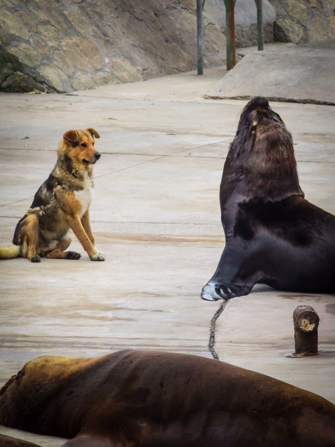 Vissershaven en zeeleeuwen en honden, stad van Mar del Plata, Argentinië stock afbeelding