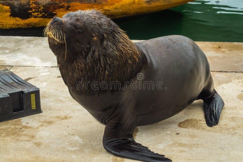 Vissershaven en zeeleeuwen, stad van Mar del Plata, Argentinië stock foto's