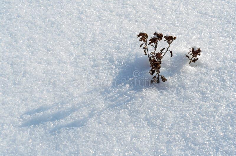 Vissna blomman på snön; kallt frostigt väder arkivbild