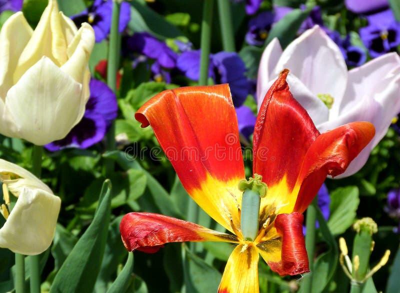 Vissna den röda tulpan och att blomma vita tulpan royaltyfri bild