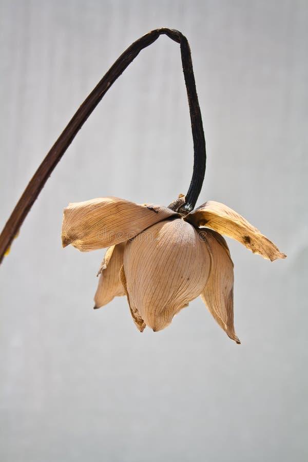 Vissna lotusblomma arkivfoton