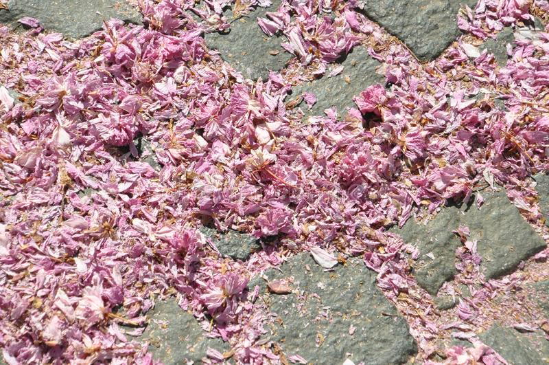 Vissna rosa körsbärsröda blomningar som är stupade ner på den packade vägen arkivfoton