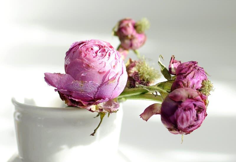 Vissna rosor arkivfoton