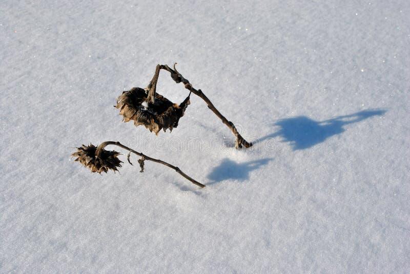 Vissna solrosor för par i det snöig fältet royaltyfria bilder