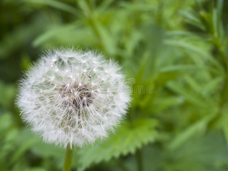 Vissnad maskros med frö, blowball på grön bokehbakgrund taraxacumofficinale, vårblomma, slut upp, makro arkivbilder