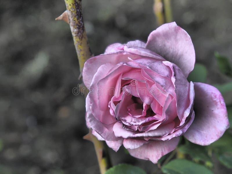 vissnad pinkrose royaltyfria foton
