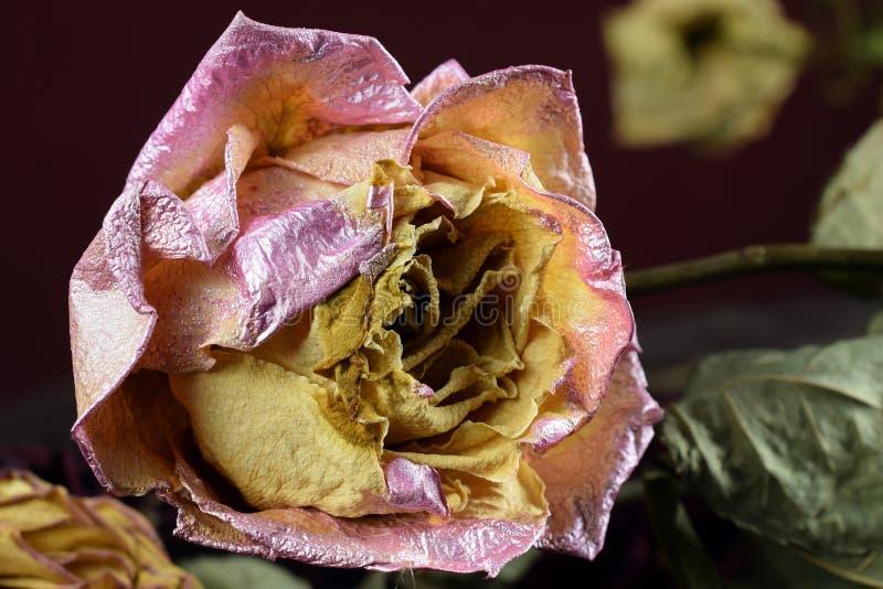 Vissnande rosa färggulingros arkivbild