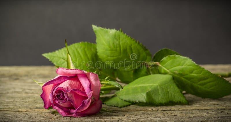 Vissnande rosa färgros arkivbilder