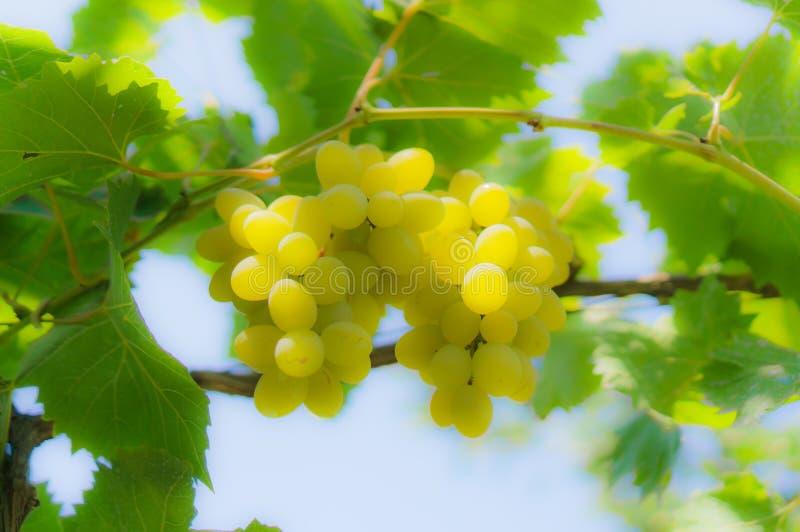 Vist de vigne la branche photographie stock libre de droits