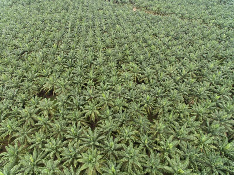 Vista aérea da plantação do óleo de palma situada no krai de kuala, kelantan, malaysia, Ásia Oriental imagens de stock