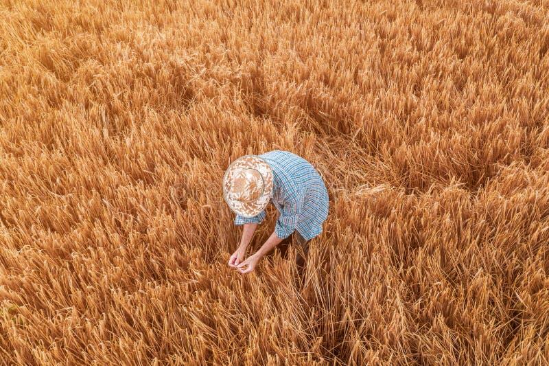 Vista aérea de la situación del granjero en campo maduro de la cosecha del trigo fotografía de archivo libre de regalías