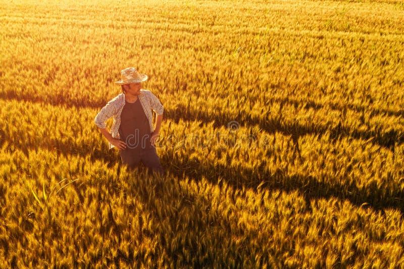 Vista aérea de la situación del granjero en campo de trigo maduro de oro foto de archivo libre de regalías