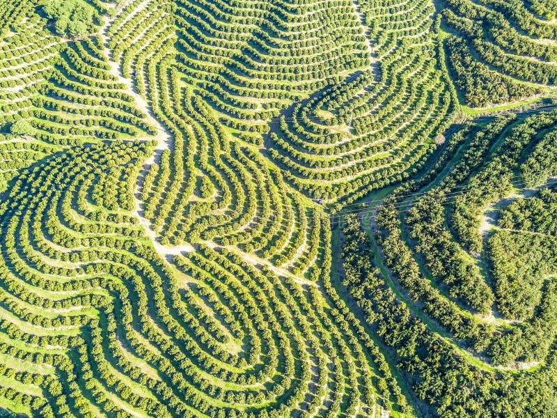Vista aérea de las arboledas del árbol anaranjado en las colinas fotos de archivo libres de regalías