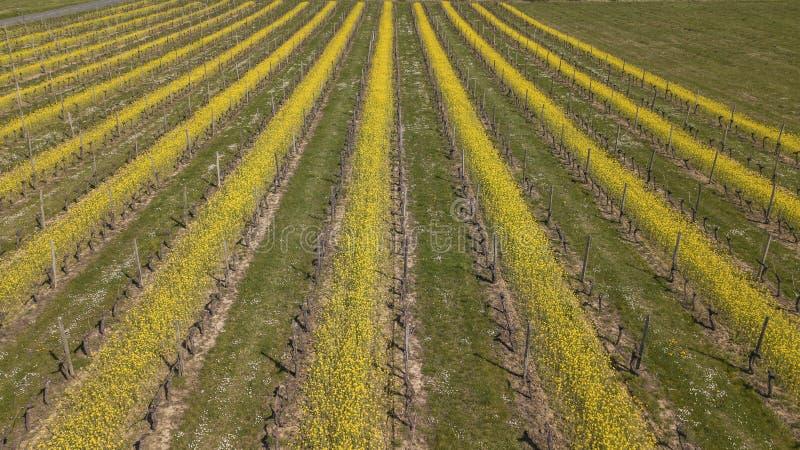 Vista aérea de um vinhedo verde do verão no por do sol imagens de stock