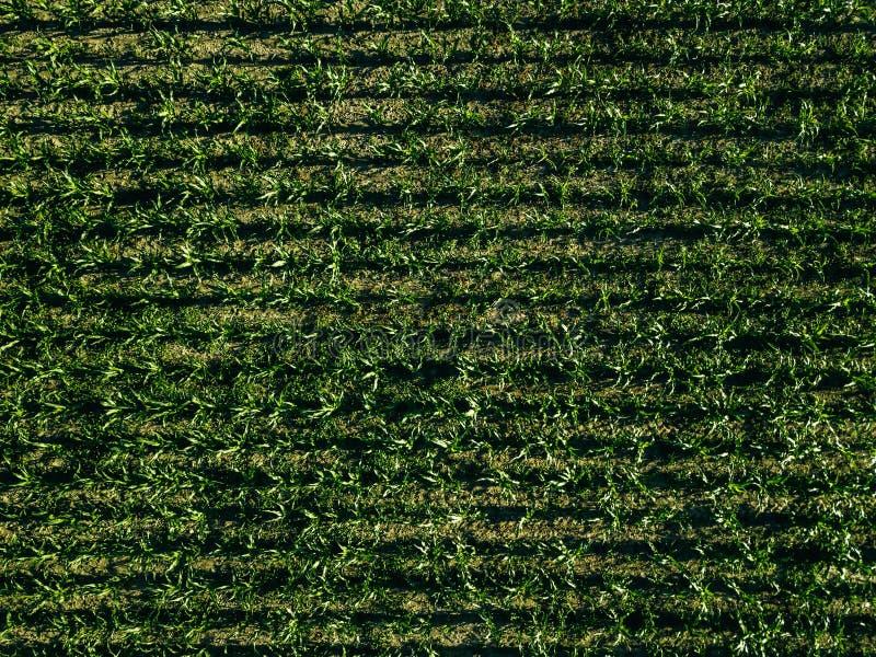 Vista aérea del campo de maíz verde con las líneas de la fila, visión superior desde arriba fotos de archivo