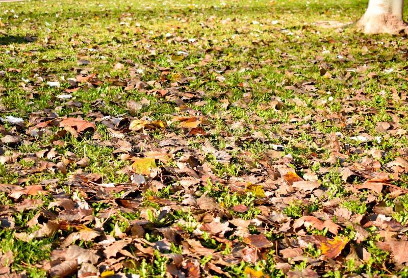 a vista aberta dos muitos laranja seca do bordo sae na grama verde em uma cena de um dia da queda As folhas caíram na terra e imagem de stock royalty free