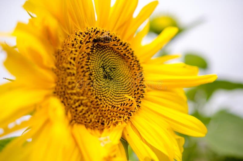Vista abstracta de un girasol grande con el foco solamente en el polen interno fotos de archivo