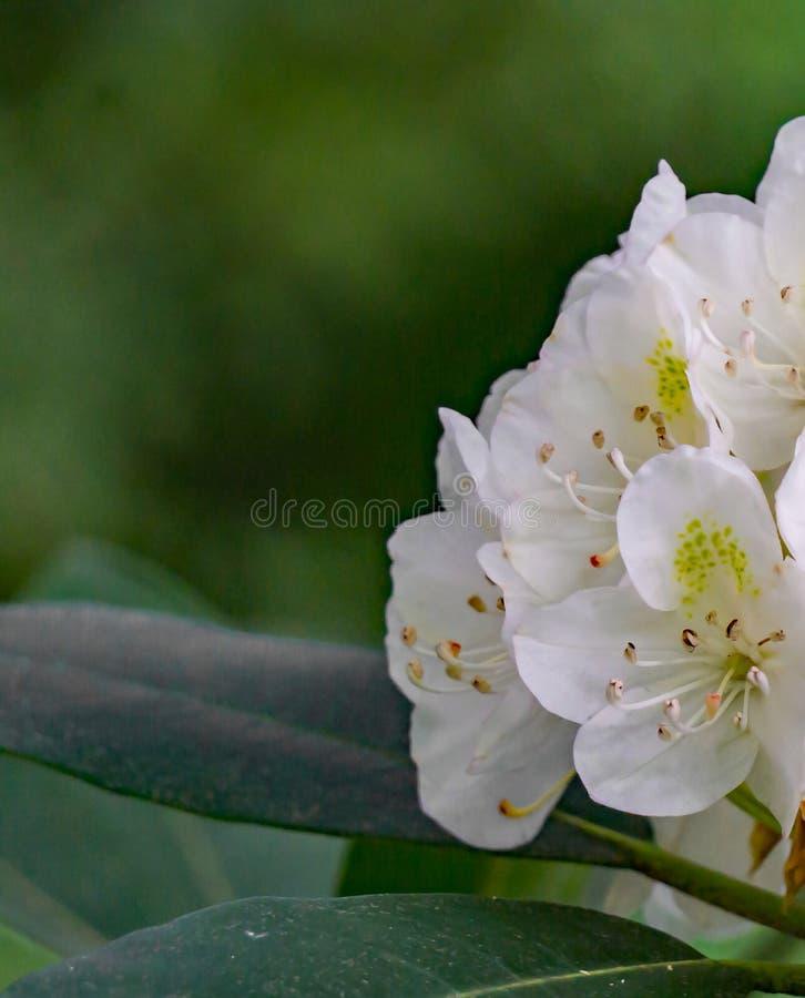 Vista abstrata de grandes flores do rododendro foto de stock
