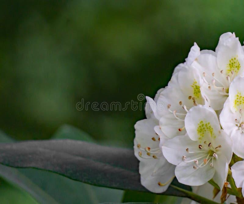Vista abstrata de um conjunto de grandes flores do rododendro imagens de stock royalty free