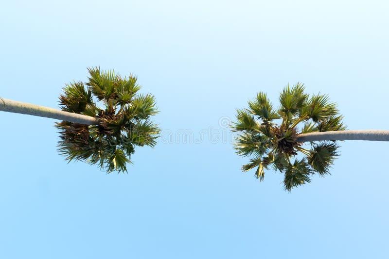 Vista acima ao céu e às palmeiras tropicais muito altas imagens de stock
