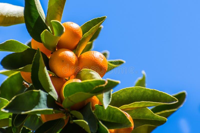 Vista acima ao fruto maduro do Kumquat em um ramo de árvore fotos de stock royalty free