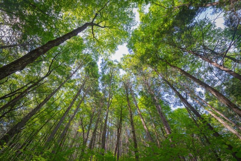 Vista acima de debaixo de um dossel das árvores fotografia de stock