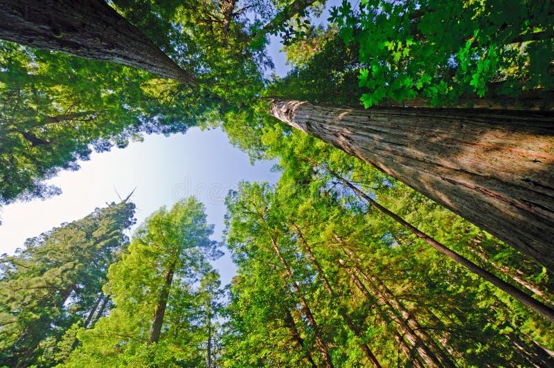 Vista acima em uma floresta do Redwood fotografia de stock
