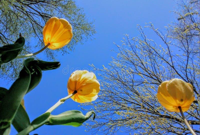Vista acima nas tulipas amarelas que florescem contra o céu azul fotografia de stock