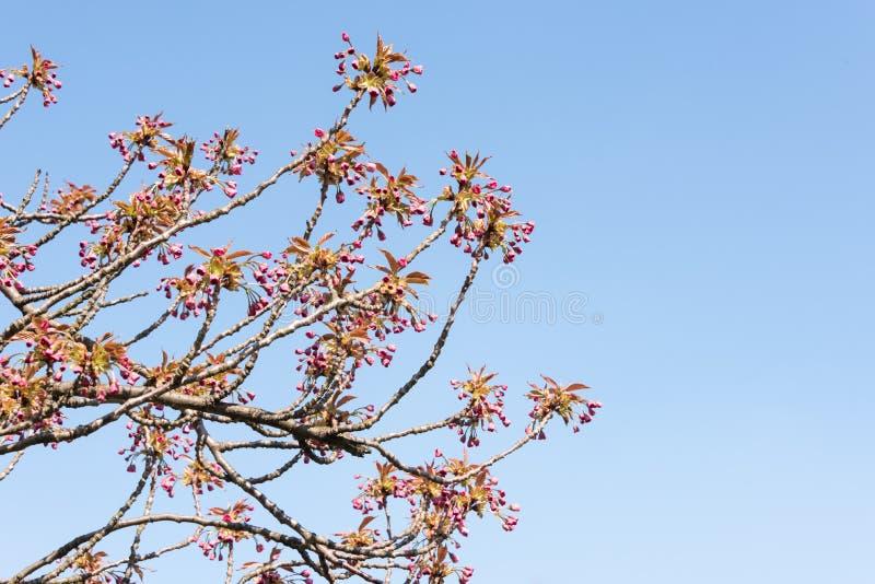 Vista acima nos botões cor-de-rosa de Sakura contra o céu azul - flor de cerejeira fotos de stock royalty free